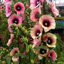 8+  HOLLYHOCK HALO APRICOT, ALCEA BRED FIRST YEAR BLOOM / PERENNIAL FLOWER SEEDS