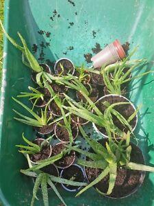 Aloe Vera Plant Live Fresh