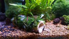 Java Moss on bamboo tube, natural aquarium decoration for shrimp and crayfish