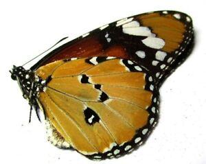 D004 EL : AU : Butterflies: Danaus chrysippus chrysippus 42mm