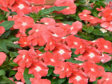 Vinca Seeds 50 Sunsplash Peach Seeds