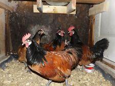 10+ Vorwerk chicken hatching eggs