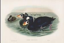 Original John Gould Lithograph OIDEMIA PERSPICILLATA Large Sea Duck Framed