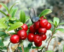 "Lingonberry ""Ruby"" Seeds Organic Plant Seeds Berries For Home and Garden Bonsai"