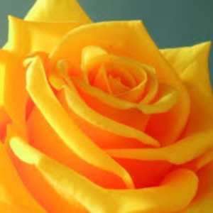 Yellow rose seeds 10 per pack ships within 48 hrs. USA