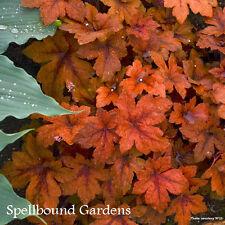 Heucherella 'Pumpkin Spice' PPAF Foamy Bells Live Plant