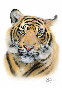 SUMATRAN TIGER colour pencil print A4 / A3 signed by artist Animals Realism