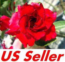 """5 Seeds, Adenium Obesum Desert Rose """"Doungdee""""  B102, Garden Flower Seeds"""