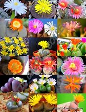 Cactus Flower 20 Seeds G9R5 Living Stone Lithops Mixed