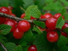 Nanking Cherry Prunus tomentosa - Cerasus tomentosa 50 seeds