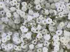 "Flower Seeds ""BABYS BREATH"" ( Approx 300 Seeds) Beautiful White Flower"