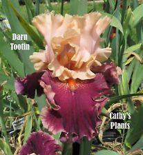 Tall Bearded Iris ~ Darn Tootin ~Additional wins ship $1.25 each