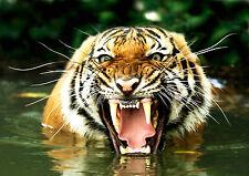 Ansichtskarte: ein fauchender Tiger im Wasser - snarling tiger - tigre feulant