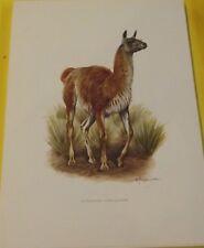 Impression Affiche papier Histoire Naturelle le Guanaco Lama guanicoe