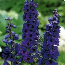 Delphinium / Larkspur- Black Knight - 50 Seeds