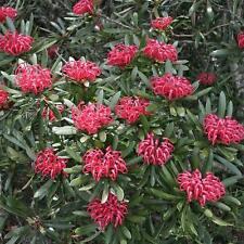 TELOPEA truncata Tasmanian Waratah Seeds (N 17)