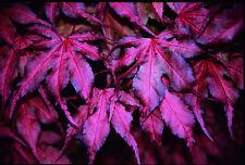 ACER PALMATUM PURPURA  purple ghost  Arce Japonés 20 semillas seeds samen graine