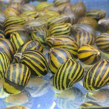 3 Zebra Nerite Snails Large (Neritina Natalensis) Live Freshwater Snail Plants