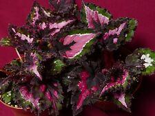 """Begonia Pflanze Tampa Bay 4"""" Pot Rex"""