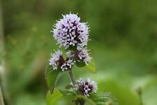 Garden Pond Plant Water Mint Mentha Aquatica Marginal Hardy Rooted Cuttings