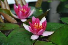 More details for nymphaea  pygmaea  rubra  dwarf uk hardy  lilly end of season sale!!!