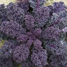 Summer Full Sun Kale Vegetable Plant Seeds