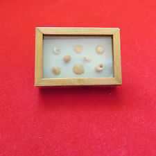 Shells in Display Box ~ Doll House Miniature ~ 1/12 scale