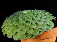 Aeonium tabulaeforme, Dinner Plate, 25 seeds, rare peculiar succulent, 2' across