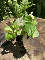 Manjula Pothos Rare Aroid Vine Varigated Well Rooted Cuttings 4'' inch Pot