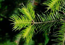 Needle Fir, Manchurian Fir (Abies holophylla) 30 seeds