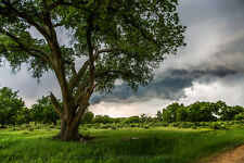 Storm Photography Print - Picture of Large Cottonwood Tree in Texas