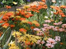 African Daisy 50 Seeds Mixed Colors Pink Yellow Orange Apricot White Pretty!