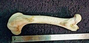 Large Wild Animal Bones - Deer and Elk - Skulls - Rib Cages - Backbone