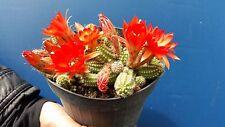 CHAMAECEREUS SILVESTRII Pianta rustica bei fiori cactus v 14