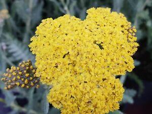 Achillea Moonshine 2 litre pot- Good for bees & butterflies