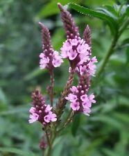 1000 PINK VERVAIN Verbena Hastata Rosea Flower Seeds