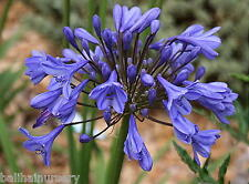 3 Agapanthus Tom Thumb dwarf plant with good blue flowers, garden plant