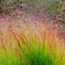 1000 Panicum Virgatum Seeds (Dacotah Switch Grass)