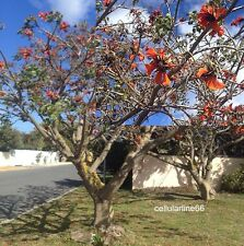 Erythrina caffra African coral tree red flowers Albero Corallo 10 semi