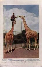 (tyl) New York NY: New York Zoological Park, Giraffes