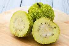 Ein aussergewöhnlicher Baum mit utopischen Früchten: die tolle Milchorange.