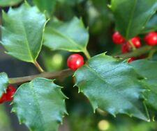 25 x ilex Opaca seeds, American Holly Tree