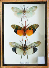 Real Exotic Lantern Flies (Zanna Nobilis) - Set of 3 taxidermy in Wooden Box