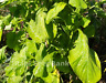 Amaranth White Queen - Delicious Leafy Spinach - 100 Seeds