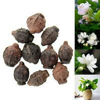 10pcs Gardenia Cape Jasmine White Shrub Aromatic Fragrance Flower Seeds Seed