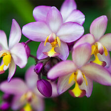 Orchid Acanthephippium Flower 36 Seeds Species (Type T13) Real Seeds