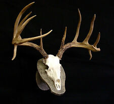 "Deer Skull w/ faux barnwood panel REPLICA  23"" Spread  Beautiful, High Quality"