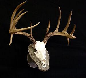 "Deer Skull w/ faux barnwood panel REPLICA  23"" Spread  Beautiful, High Quality"