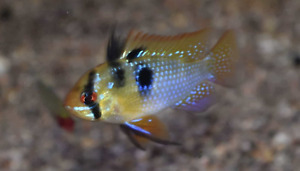 German Blue Ram Cichlid Live Fish Tropical Freshwater Aquarium FREE SHIPPING!!!!