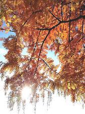 conifer tree, bonsai, Dawn Redwood METASEQUOIA, hedging plant, Autumn colours